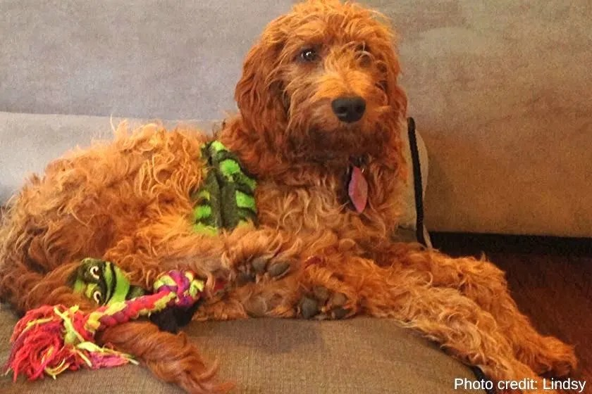 F1 Goldendoodle puppy with wavy coat