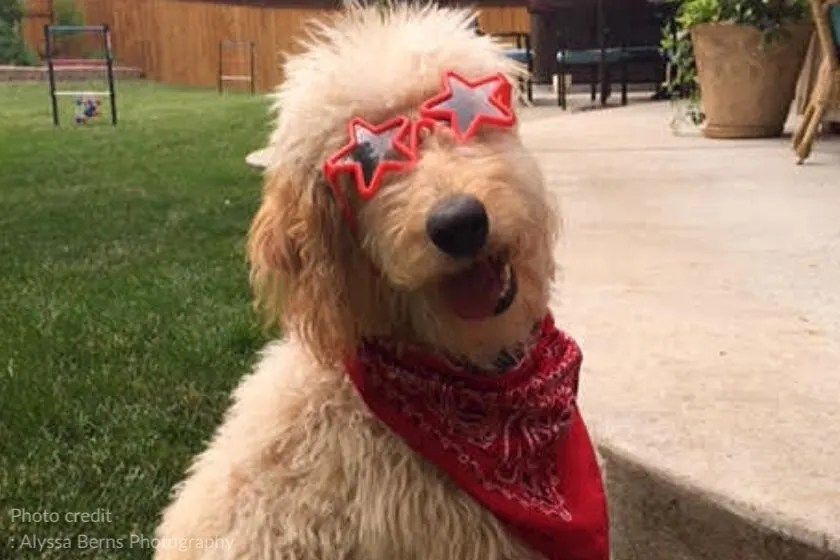 F1 Goldendoodle dog wearing red bandana and sunglasses