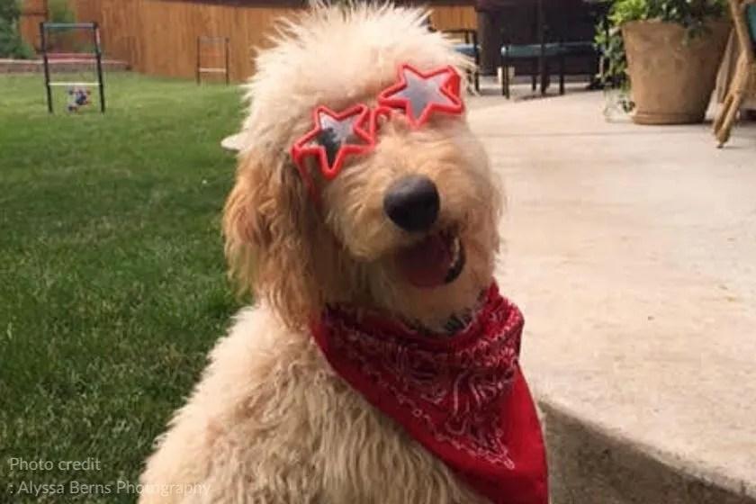 F1 Goldendoodle dog wearing red bandana and sunglasses