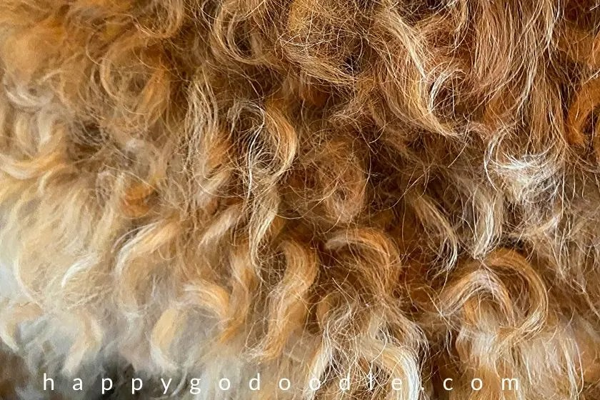 Close-up of curly coat of a red, F1B Goldendoodle. Photo.