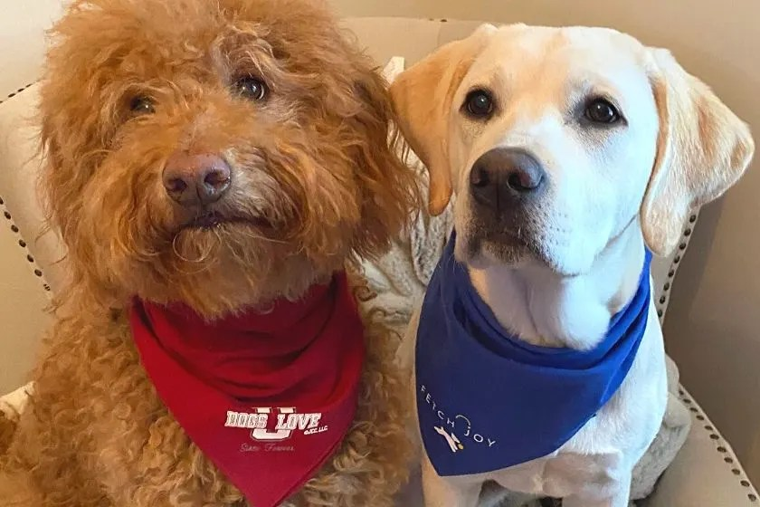 F1B Goldendoodle and Labrador puppy wearing dog bandanas. photo.