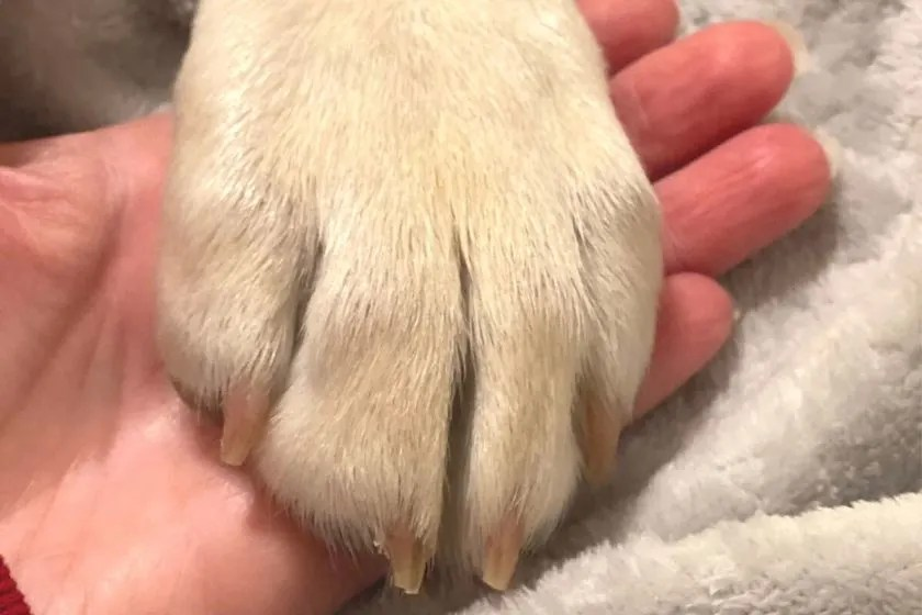 dog's paw with  trimmed nails. photo.