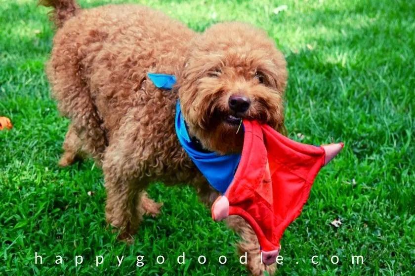 goldendoodle-dog-frisbee-game