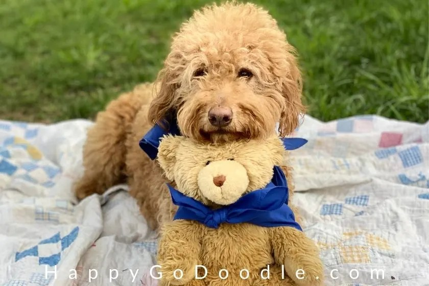 Cute Goldendoodle sitting her nose on top of a teddy bear. photo