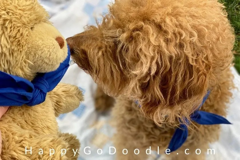 Teddy bear and Goldendoodle looking at each other nose-to-nose. photo