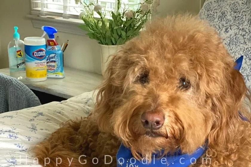 Goldendoodle dog's face and containers of antibacterial products in the background as part of a dog mom's quarantine life. photo