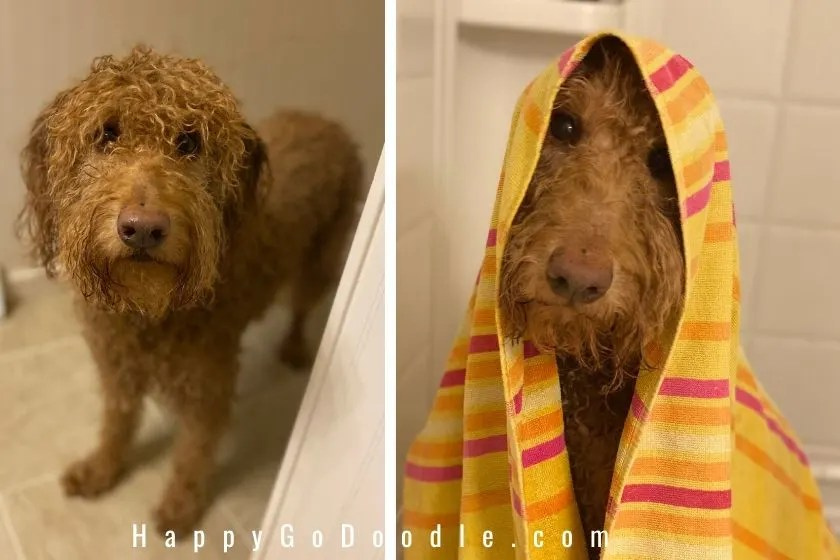wet Goldendoodle dog and Goldendoodle dog with a yellow striped towel on her head as example of a  part of a dog mom's day.  photo.