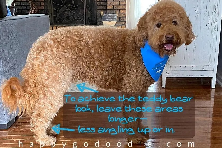 a side view of a goldendoodle dog with arrows pointing to the tummy and the leg to explain how to achieve the teddy bear hair cut. photo.