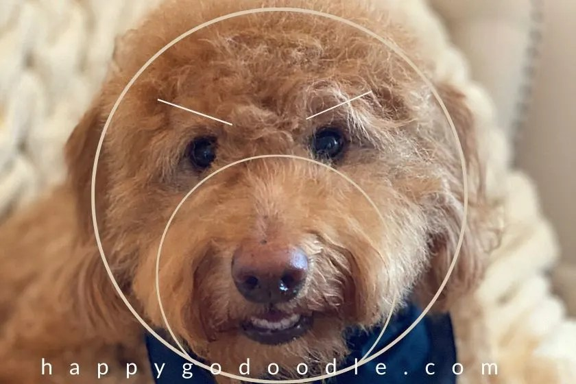 a photo showing how by angling the eyebrows on a dog's face down, the expression changes. photo and simple diagram.
