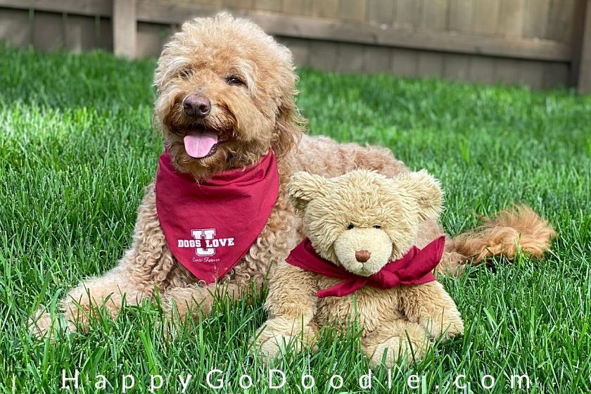 apricot goldendoodle sitting next to a teddy bear to show how the teddy bear haircut looks similar. photo.