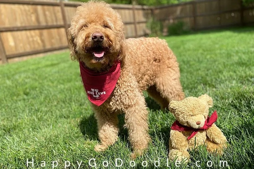 light red goldendoodle with teddy bear haircut standing next to a cute teddy bear. photo.