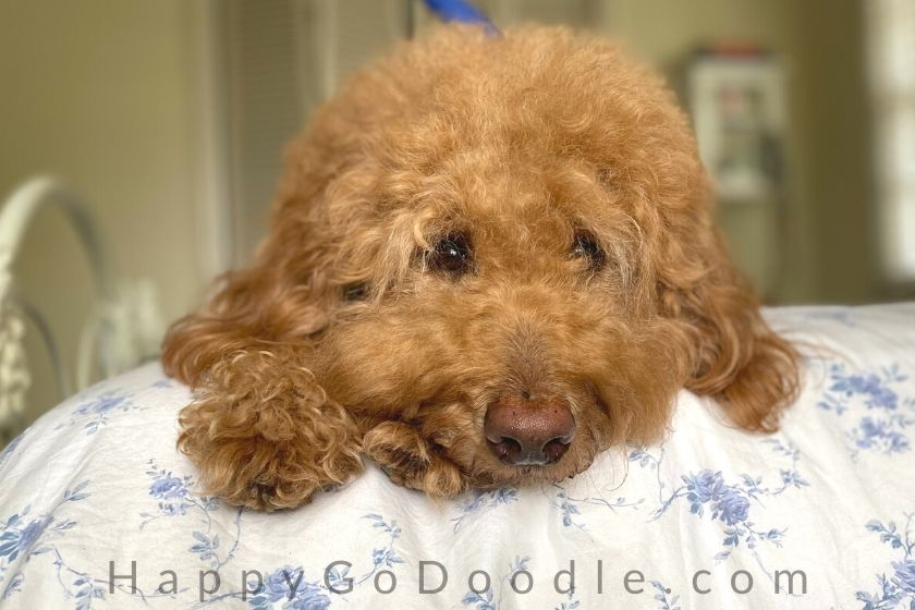 red F1B goldendoodle's face lying on bed. photo.