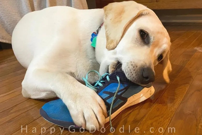 Labrador Retriever puppy chewing on a shoe in house. photo.