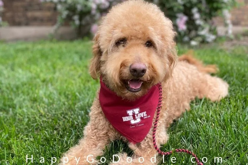 adult goldendoodle dog with a teddy bear cut lying in grass. photo.