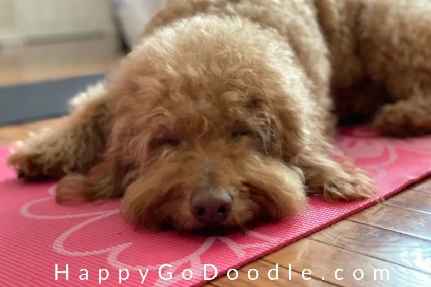 Adult Goldendoodle dog lying on a yoga mat with title Happy Yoga Napper, photo
