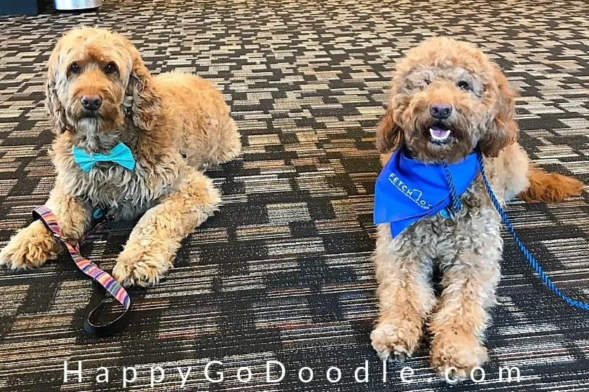 two different types of goldendoodles: an adult f1 goldendoodle and an adult f1b goldendoodle sitting on floor by each other, photo