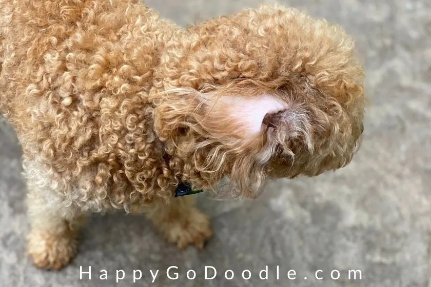 Goldendoodle ear flipped back, photo