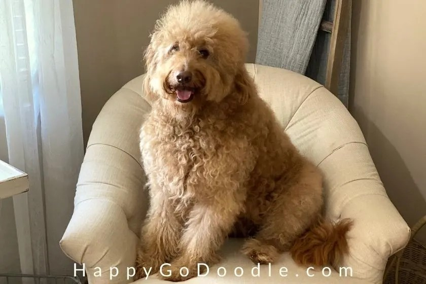 adult f1b goldendoodle sitting in cream-colored chair, photo