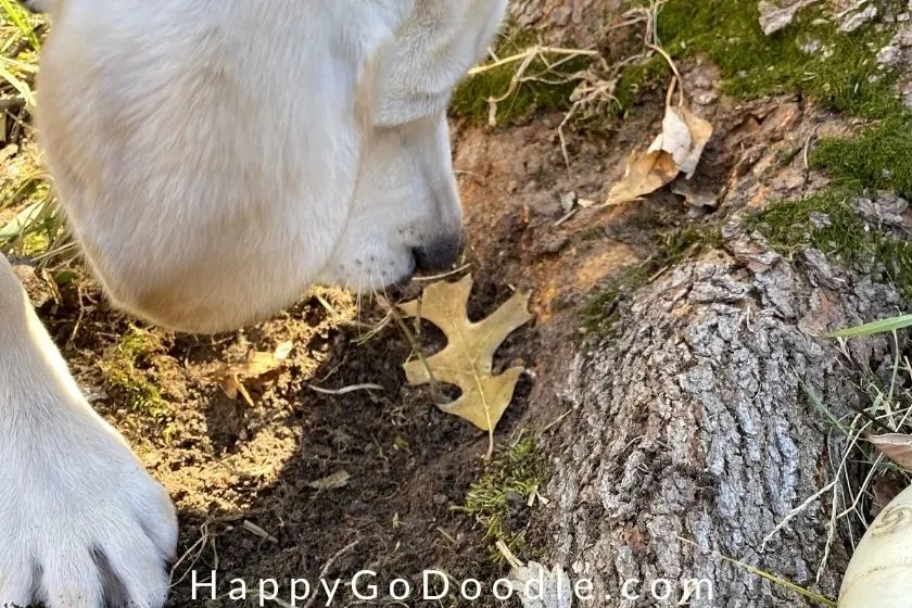 white puppy sniffing a leaf as a fun fall activity, photo
