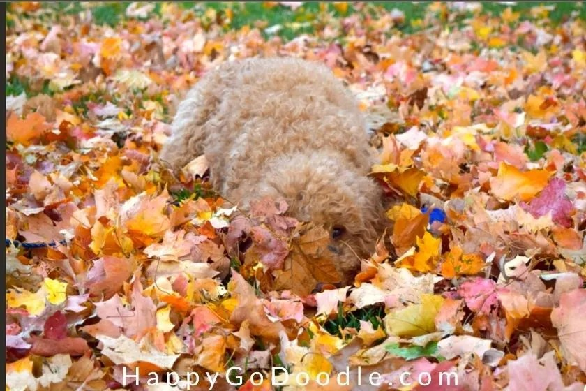 Goldendoodle dog hiding in fall leaves, photo