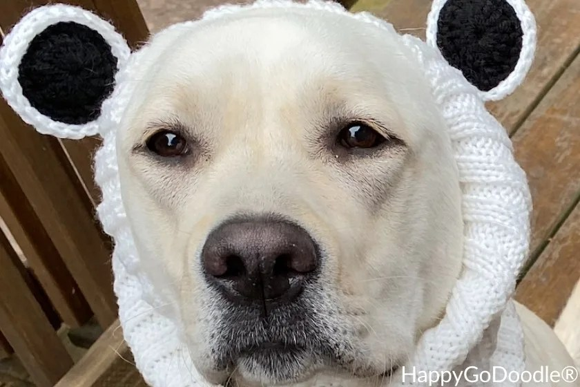 White dog wearing a white dog snood with polar bear ears, photo