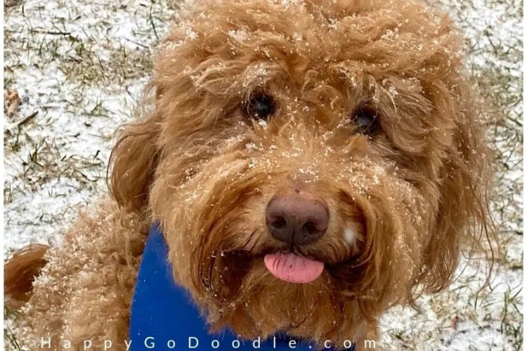 Adult Silly Goldendoodle dog's face with tongue sticking out, photo