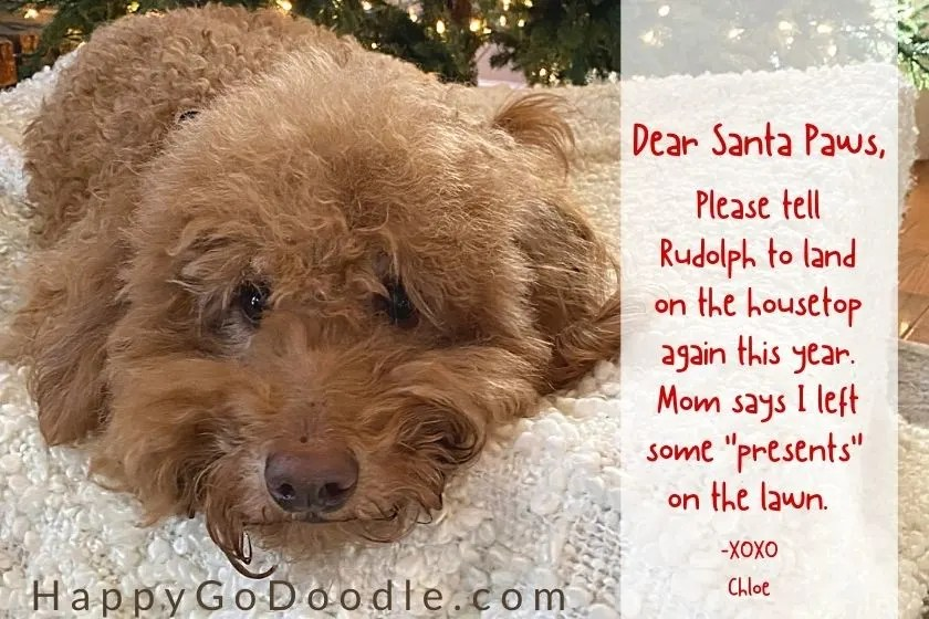 "Goldendoodle dog and a letter that begins ""Dear Santa Paws"", photo"