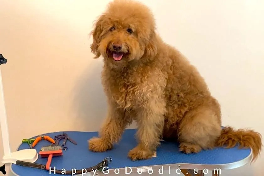 Groomed Goldendoodle dog sitting on a bone-shaped grooming table, photo