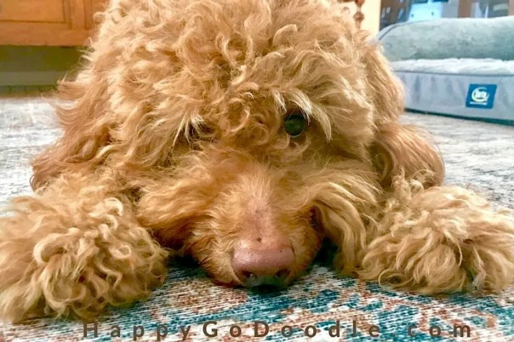 dog with head lying between fluffy paws, photo