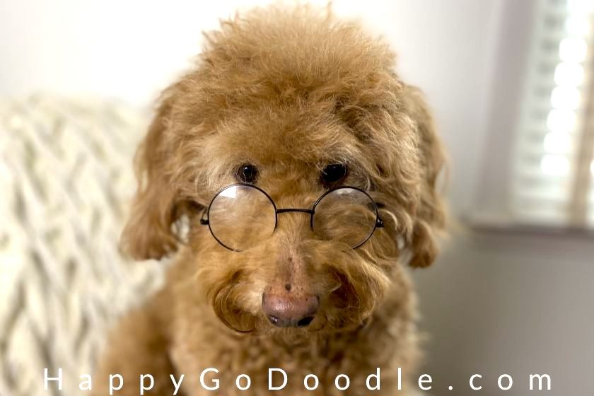 Red Goldendoodle looking overtop her glasses photo