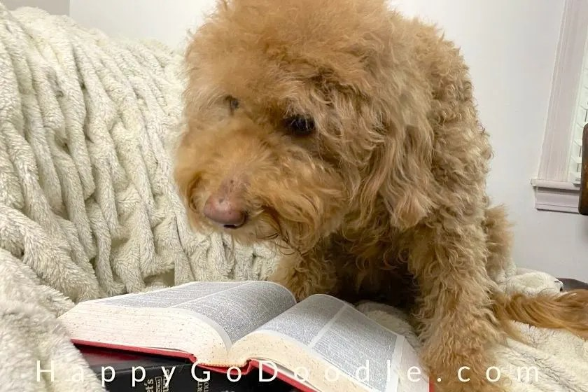 Apricot Goldendoodle looking at the dictionary as if reading it, photo