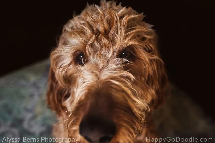 Dramatic photo of adult Goldendoodle's face, photo