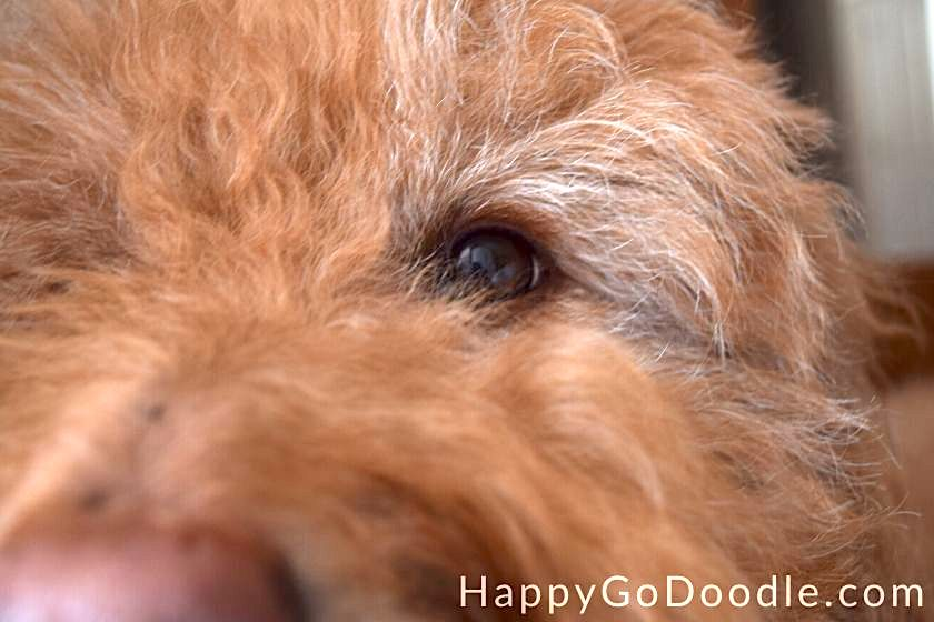 Close-up of senior Goldendoodle with graying eyebrows and red eye lashes, photo