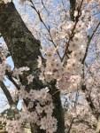 ワクワク!! もうすぐ桜が開花~~~🌸桜満開のコースでプレーしたいっ!!!