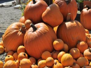 Growing Pumpkins: The Basics