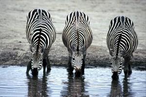 zebras-606867_1280