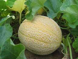 My Cantaloupe Man
