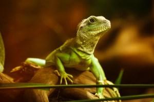 lizard-22258_1280