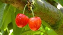 cherries-178148_1280
