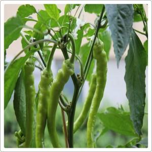 Pepper seeds