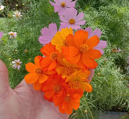 Cosmos sulphureus mix colour flowers in hand
