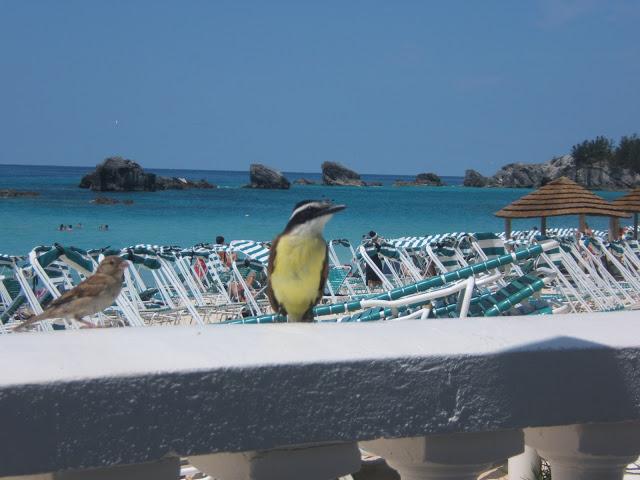 Great Kiskadee bird in Bermuda