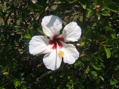 White flower in Bermuda
