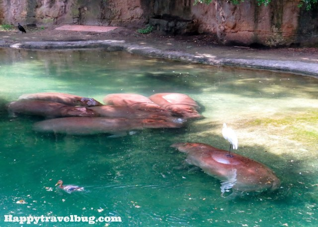 The hippos at Animal Kingdom in Disney World