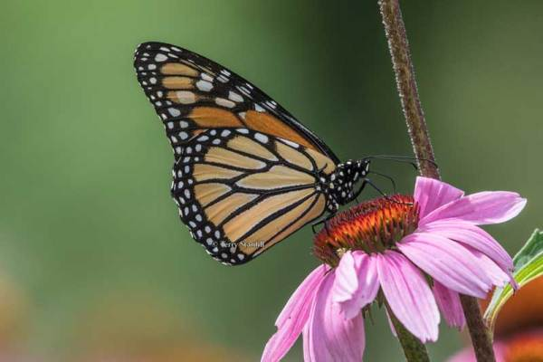 Monarchs are one of the celebrated butterflies of Ponca.