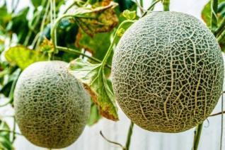 Harga Melon