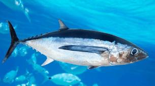 Harga Ikan tuna bluefin