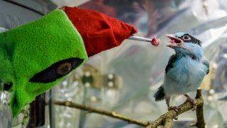 Proses Pengembangbiakan Burung Ekek