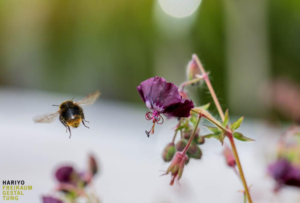 Einheimische Pflanzen sind Nahrungsgrundlage für viele Insekten
