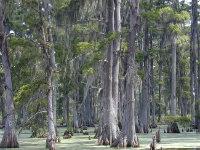 Les cyprès chauves du Mississippi : un sujet souvent évoqué dans les premières chansons de blues !